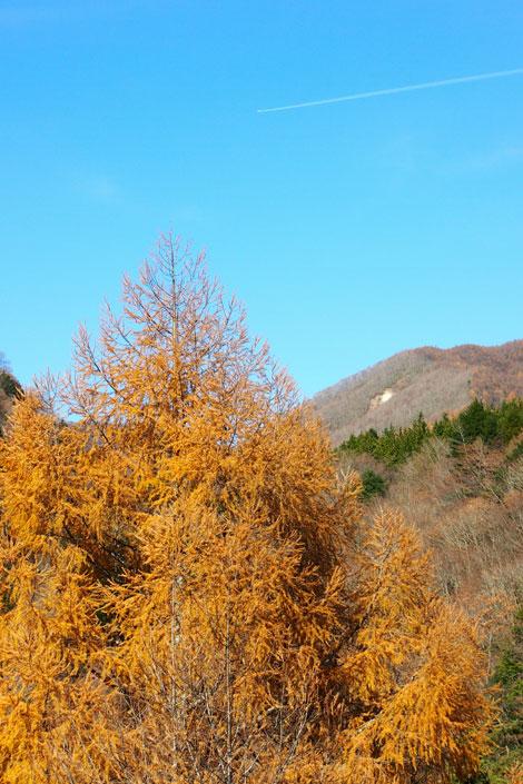 落葉針葉樹
